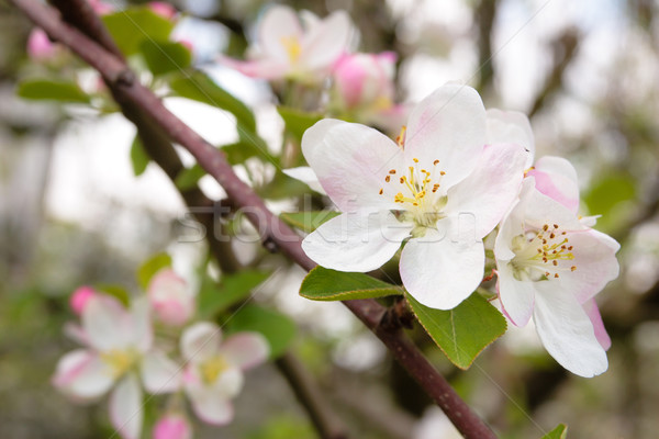 Apple tree blossom. Stock photo © Vitalina_Rybakova