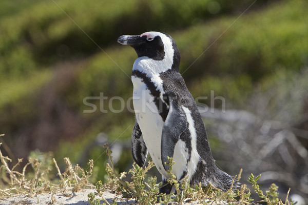 Pingouin amour Le Cap Afrique du Sud plage herbe Photo stock © Vividrange