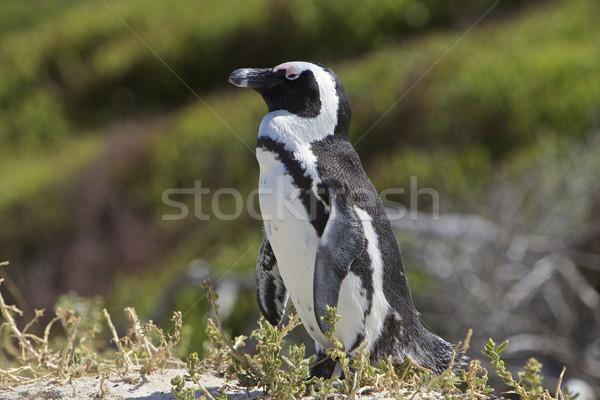 пингвин любви Кейптаун ЮАР пляж трава Сток-фото © Vividrange
