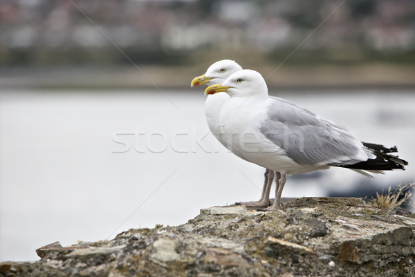 Seagulls Stock photo © Vividrange
