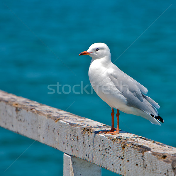 Seagull Stock photo © Vividrange