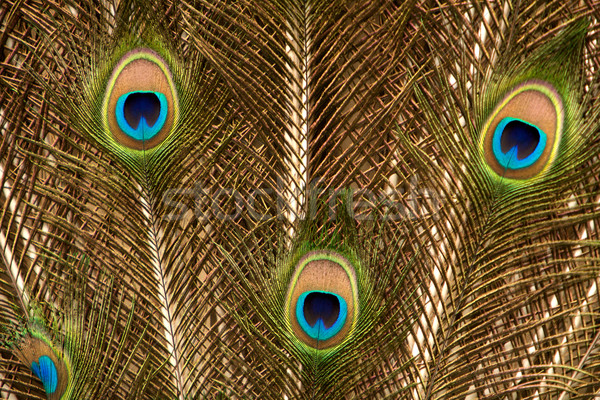 Peacock Feathers Stock photo © Vividrange