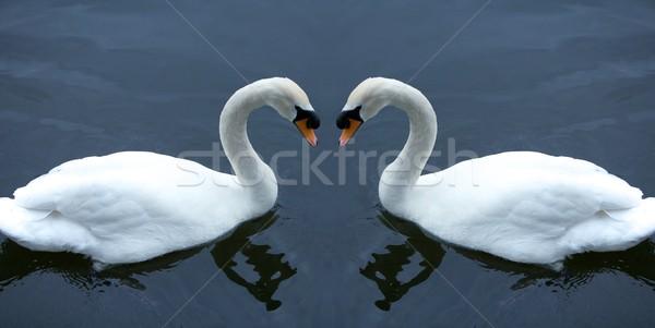 白 白鳥 水 中心 鳥 湖 ストックフォト © Vividrange