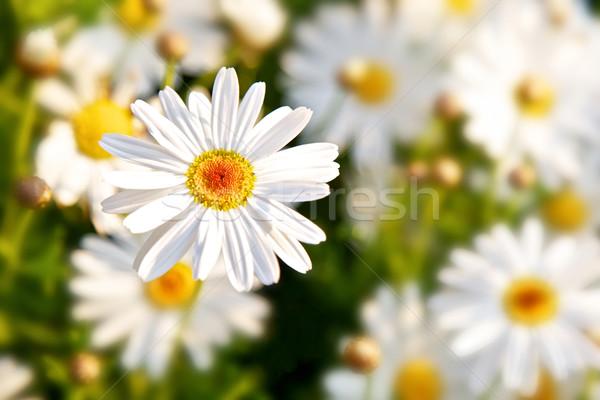 デイジーチェーン 春の花 フィールド 花 春 緑 ストックフォト © Vividrange