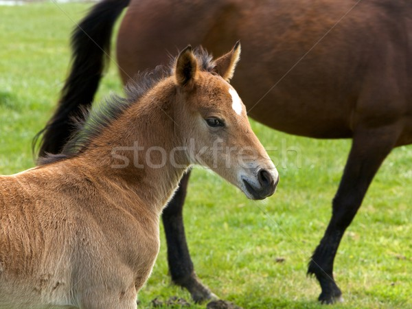 Foal standing in a field  Stock photo © Vividrange