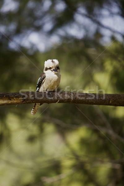 австралийский лес фон деревья Перу птиц Сток-фото © Vividrange