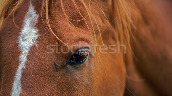 Ló barna légy szem közelkép fű Stock fotó © Vividrange