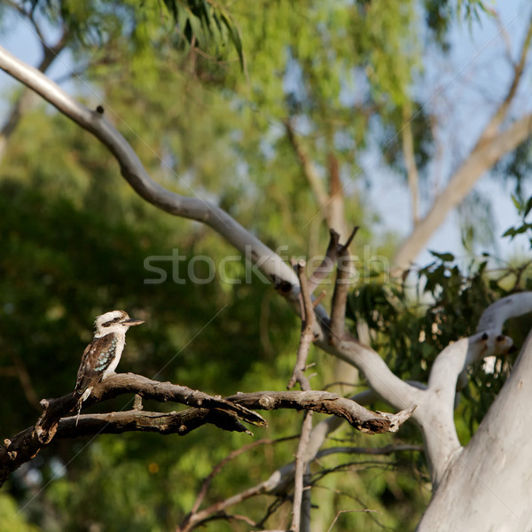 Kookaburra, Australia Stock photo © Vividrange
