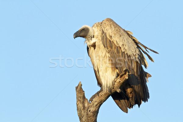 ハゲタカ 公園 南アフリカ 青 鳥 生活 ストックフォト © Vividrange
