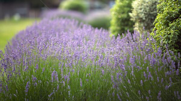 ラベンダー 花 庭園 夏 緑 蜂 ストックフォト © Vividrange