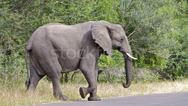 象 クロス 道路 公園 南アフリカ 草 ストックフォト © Vividrange