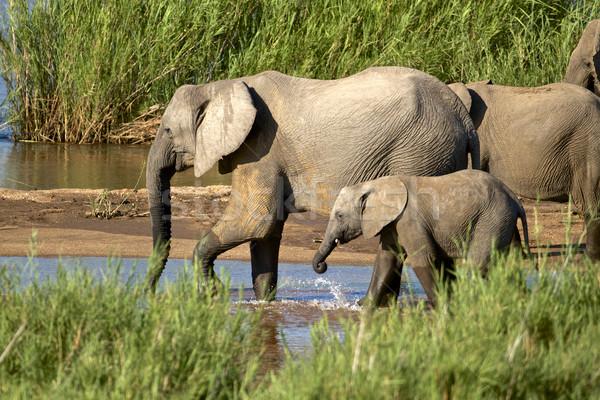飲料 アフリカ 川 南アフリカ 草 ストックフォト © Vividrange