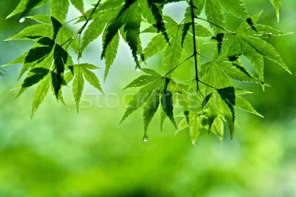葉 メイプル 緑の葉 水 春 木材 ストックフォト © Vividrange