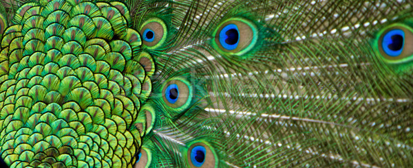 Peacock feather Stock photo © Vividrange
