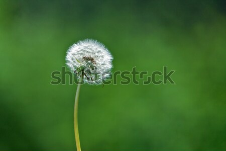 Dandelion Stock photo © Vividrange