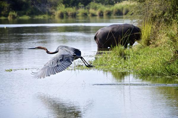 鷺 湖 パニック 公園 南アフリカ 水 ストックフォト © Vividrange