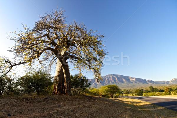 Baobab tree  Stock photo © Vividrange