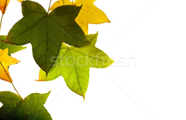メイプル 葉 孤立した 抽象的な 葉 背景 ストックフォト © Vividrange