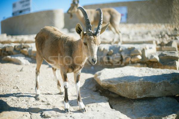 Stock fotó: Hegy · kecske · égbolt · étel · természet · sivatag