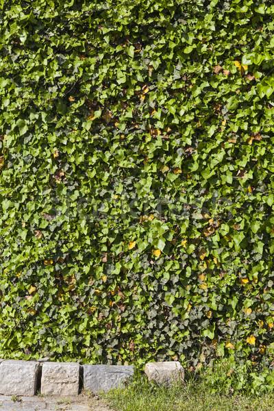 Yeşil yaprakları duvar yeşil sarmaşık yaprakları bitki örtüsü Stok fotoğraf © vizualni
