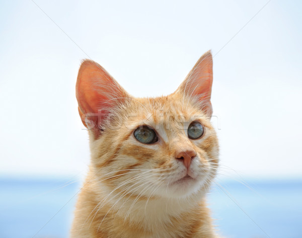 red cat with green eyes over blue Stock photo © vkraskouski