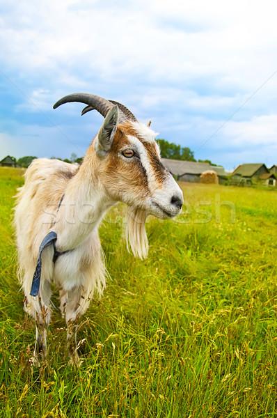 Foto stock: Marrom · branco · cabra · campo · em · pé · prado