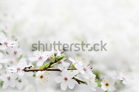 Fehér tavaszi virágok faág szürke napos bokeh Stock fotó © vkraskouski