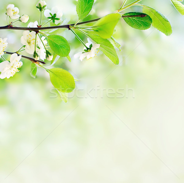 Fehér tavaszi virágok faág zöld bokeh közelkép Stock fotó © vkraskouski