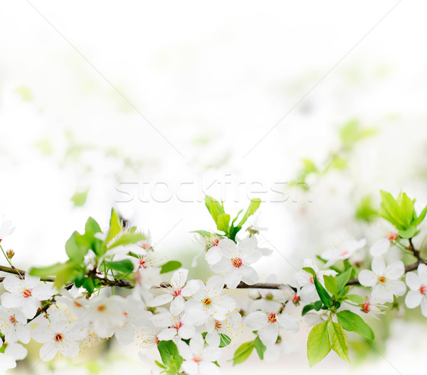 Stock photo: white spring flowers on a tree branch