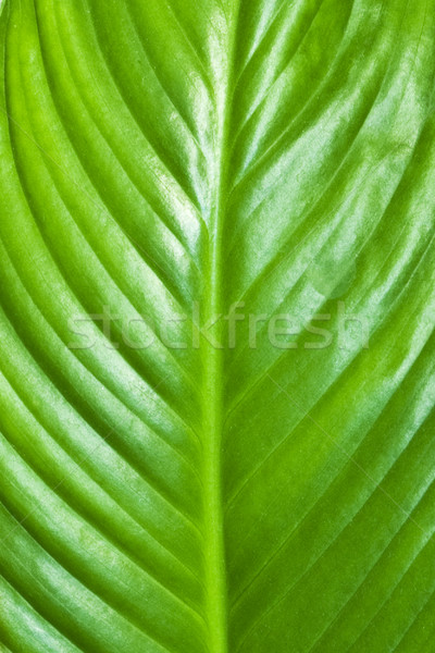 Zöld levél textúra tavasz fű absztrakt fény Stock fotó © vkraskouski
