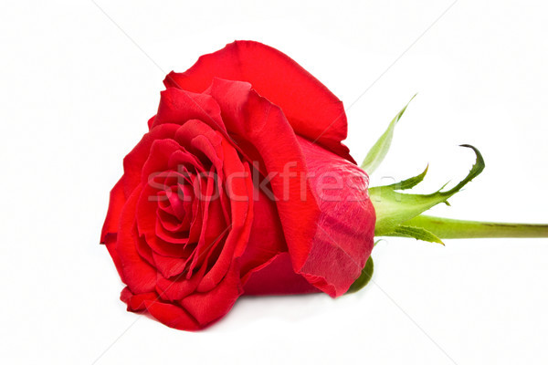 Rosa vermelha isolado branco flor natureza folha Foto stock © vkraskouski
