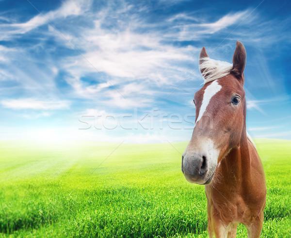 Vermelho cavalo campo nublado blue sky olhando Foto stock © vkraskouski