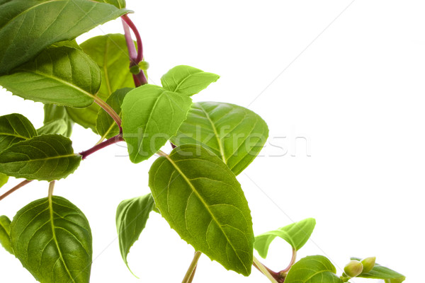 green leaves Stock photo © vkraskouski