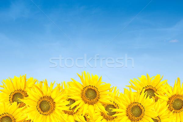 Napraforgók kék ég nyár kicsi kék felhős Stock fotó © vkraskouski