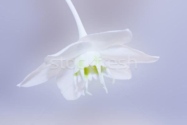 Fiore bianco fiore natura salute estate spazio Foto d'archivio © vkraskouski