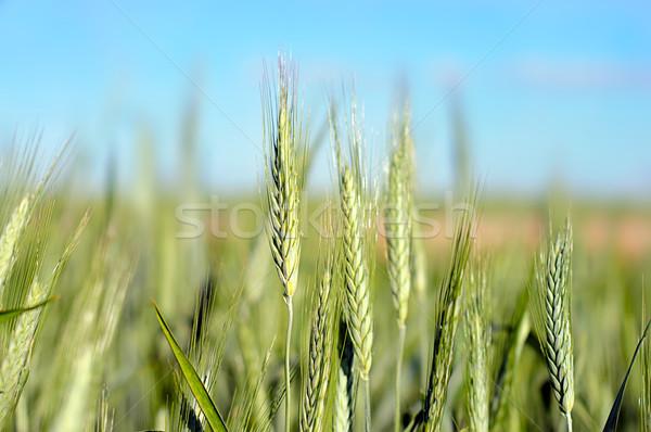 Yeşil buğday yaz atış mavi gökyüzü Stok fotoğraf © vkraskouski