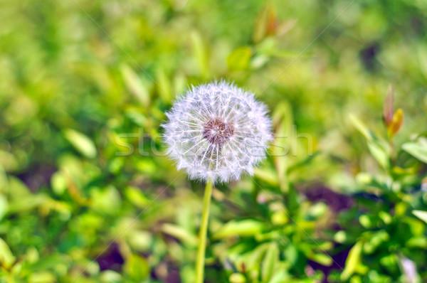 white dandelion on a background of green grass on a sunny day Stock photo © vlaru