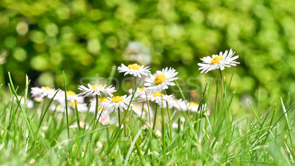 Photo stock: Bush · marguerites · herbe · verte · ciel · fleur · printemps