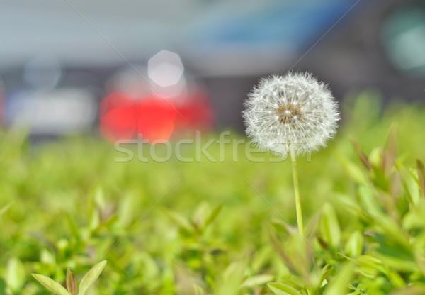 白 タンポポ 緑の草 ぼかし 車 ストックフォト © vlaru