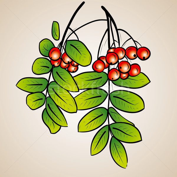 Rowanberry Stock photo © vlastas