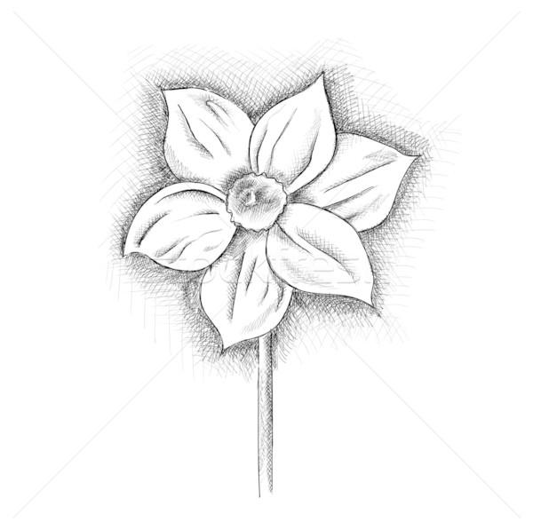 daffodil Stock photo © vlastas