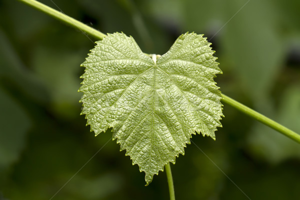 green grape leaf Stock photo © Volina
