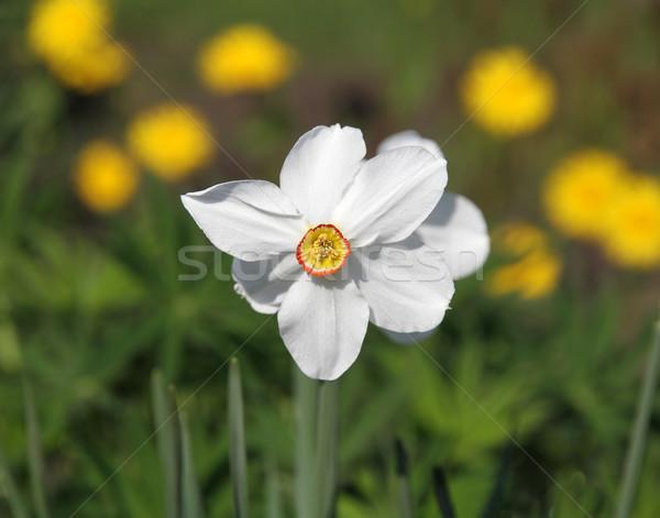white narcissus Stock photo © Volina