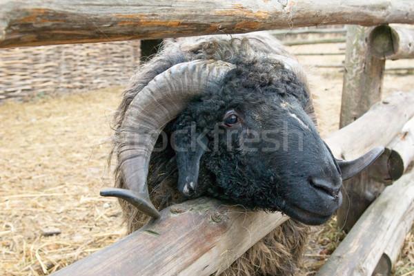 Ovelha retrato grande fazenda cabeça Foto stock © vrvalerian