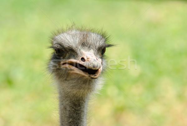 Struisvogel portret licht gezicht natuur leuk Stockfoto © vrvalerian