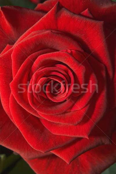 Stockfoto: Bloem · Rood · rose · shot · liefde · steeg