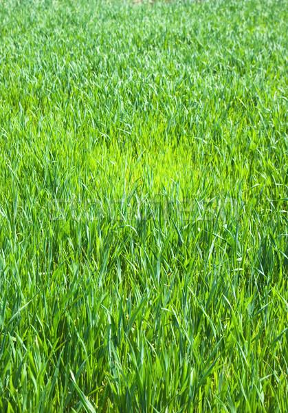 Grama suculento jovem grama verde primavera abstrato Foto stock © vrvalerian