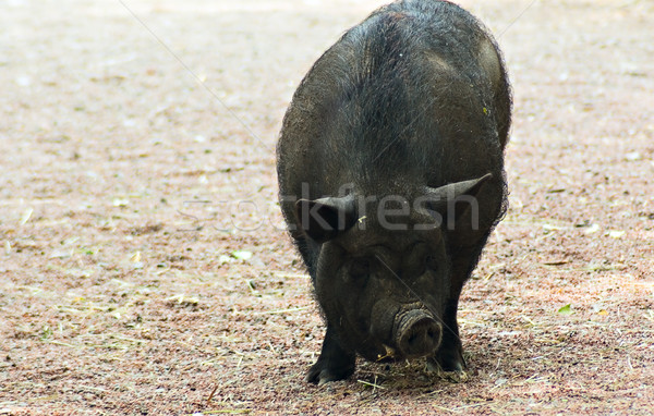 Porco grande preto grama cabeça Foto stock © vrvalerian