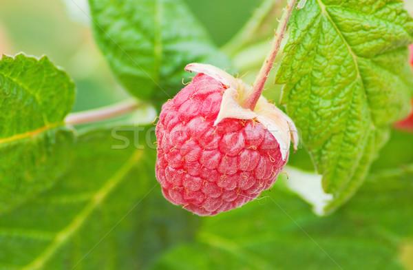 Rood frambozen rijp groene bladeren vruchten groene Stockfoto © vrvalerian