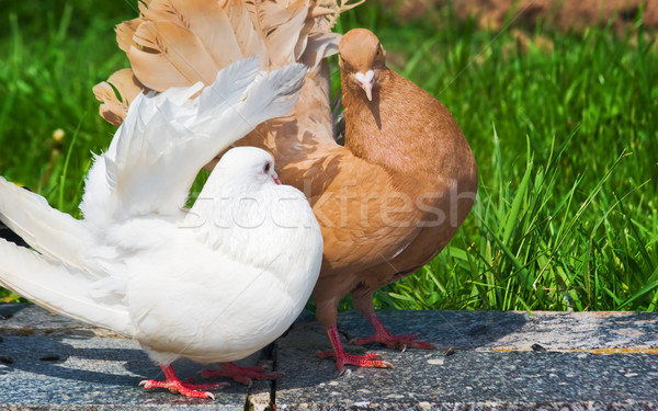 Kahverengi güvercin beyaz doğa kuş Stok fotoğraf © vrvalerian